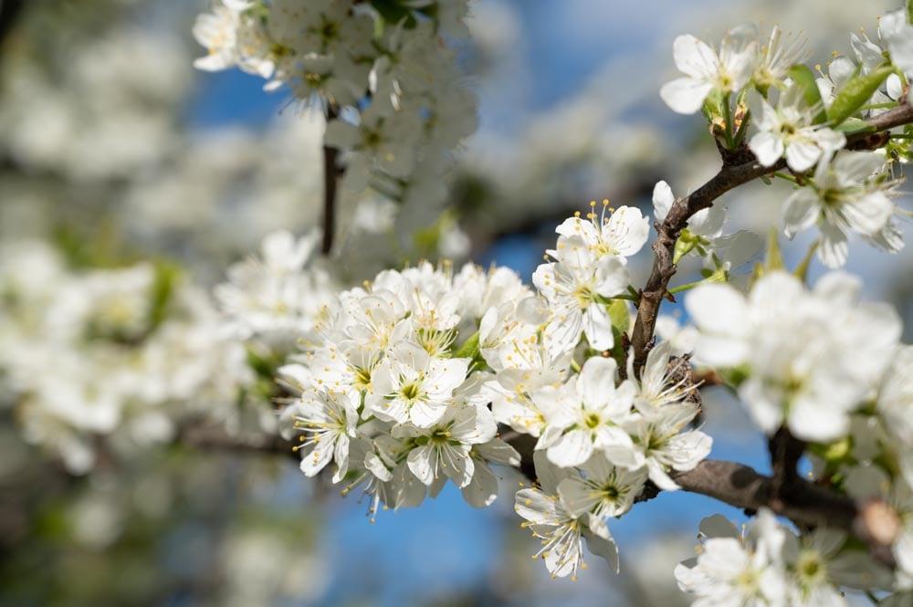 floraison-haute-savoie